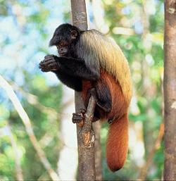 uakari in tree