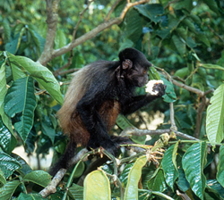 Vervet eating in a tree