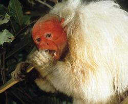 uakari eating in a tree