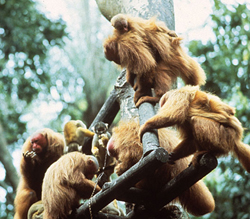 Multiple uakari adults and infants perch in a tree
