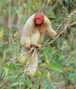 Uakari clings to branch
