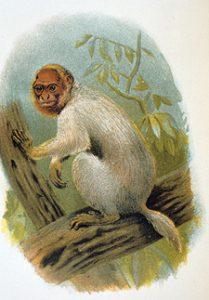 Uakari primate artwork
