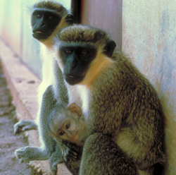 Two vervet adults with infant vervet