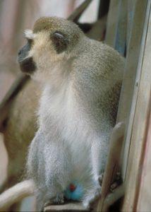 Vervet monkey sitting