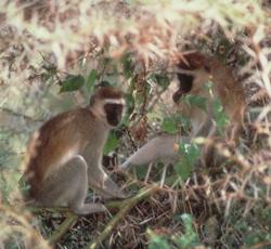 vervet monkeys on nest