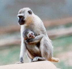 Mother and infant vervet
