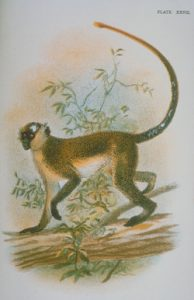 Vervet monkey artwork, plate XXVII