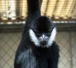 white-cheeked gibbon