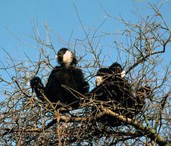 white-cheeked gibbon in tree
