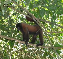 Woolly monkey in tree