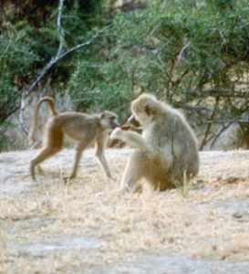 mother and juvenile yellow baboons