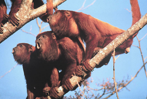 Three red howler monkeys calling on a branch