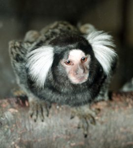 Adult common marmoset