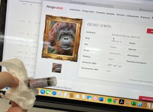 Dr. Banes shows a blood sample from this orang-utan pictured in the Pongo database.