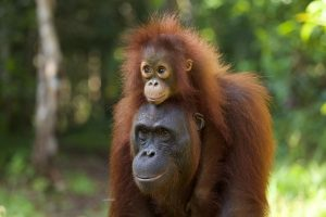 This reintroduced female, pictured carrying her wild-born offspring on her head, was displaced due to oil palm plantations, rescued, then reintroduced into the wild. The Orang-utan Genetics project can help guide reintroductions such as hers. . (Photo by G.L. Banes)