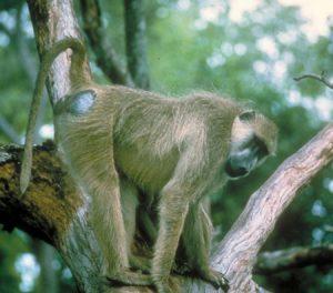 yellow baboon 1