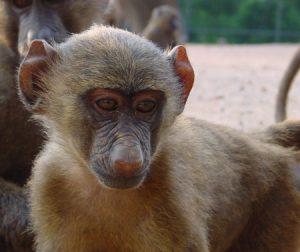 Young yellow baboon