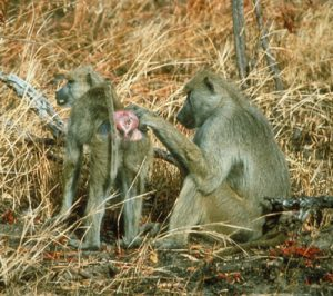 Yellow Baboons grooming